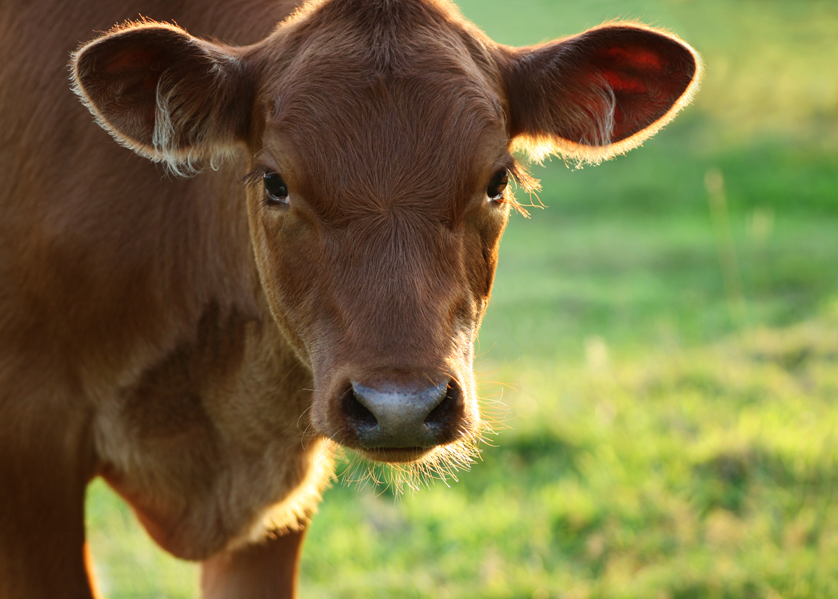 Brown baby cows - photo#21