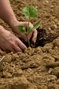 planting-crop