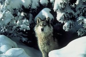 eco wolfs