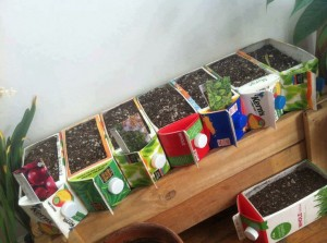 plant seeds in old milk cartons