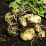 The Humble Spud—the Vegetable with a Bad Rep.