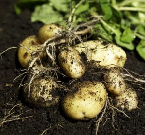 potatis-jordig_reference