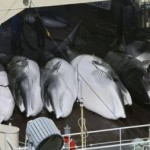 Japan Whaling Stopped after UN Court Decision