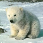 cute-polar-bear-cub-sitting-on-snow-1024x768