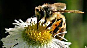 honey-bee-ap-graphics