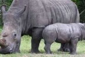 Only Five White Rhinos Left in the World