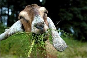 backyard goats