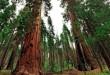 normal_Clothespin-tree-sequoia-Yosemite-Mariposa-Grove