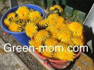 foragin dandelions