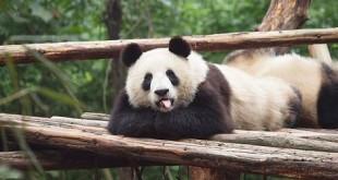 panda-laying-down