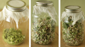 growing-sprouts-in-a-jar